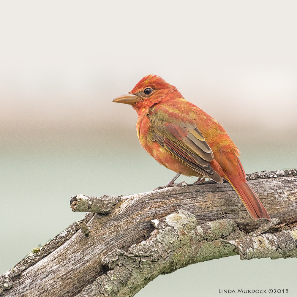 Definitely a young male Summer Tanager    Sony A77II with Sony 70-400 G2 f/5.6 1/1000 sec ISO 640