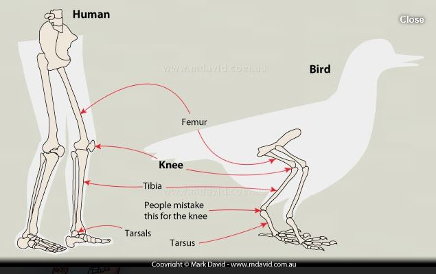 Comparative illustration of human legs and bird legs - drawing by Mark David of www.mdavid.com.au