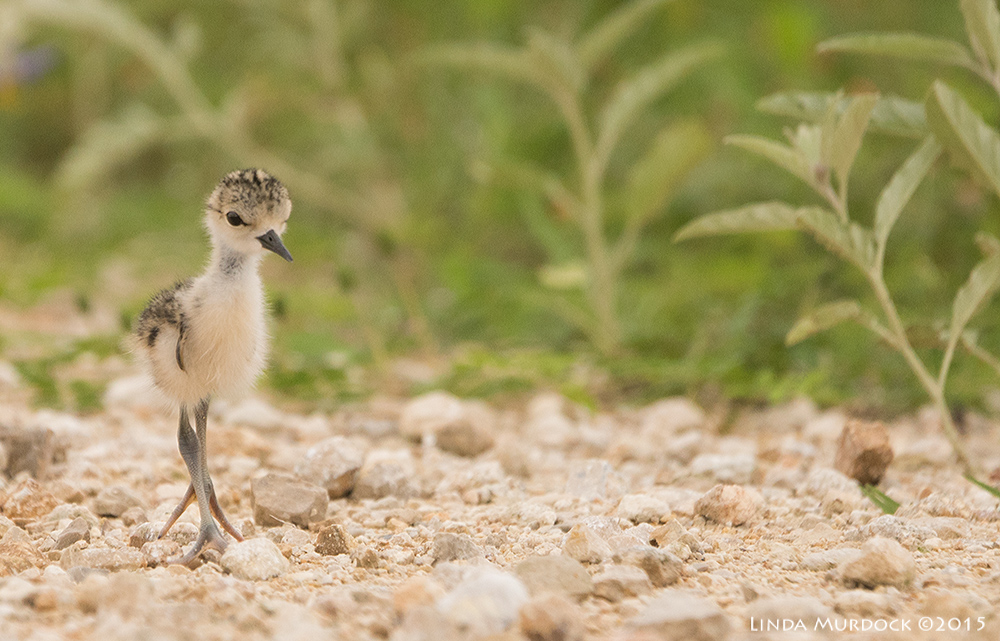 Baby Black-necked Stilt taking its first steps    Sony A77II with Sony 70-400 G2 f/5.6 1/1250 sec ISO 800