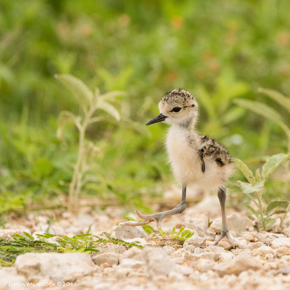 Tiny Black-necked Stilt chick at the edge of the road Sony A77II with Sony 70-400 G2 f/5.6 1/1250 sec ISO 800