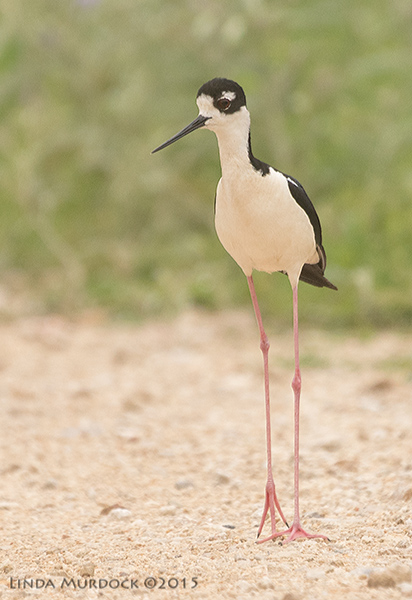 Long and tall Black-necked Stilt Sony A77II with Sony 70-400 G2 f/5.6 1/1250 sec ISO 800