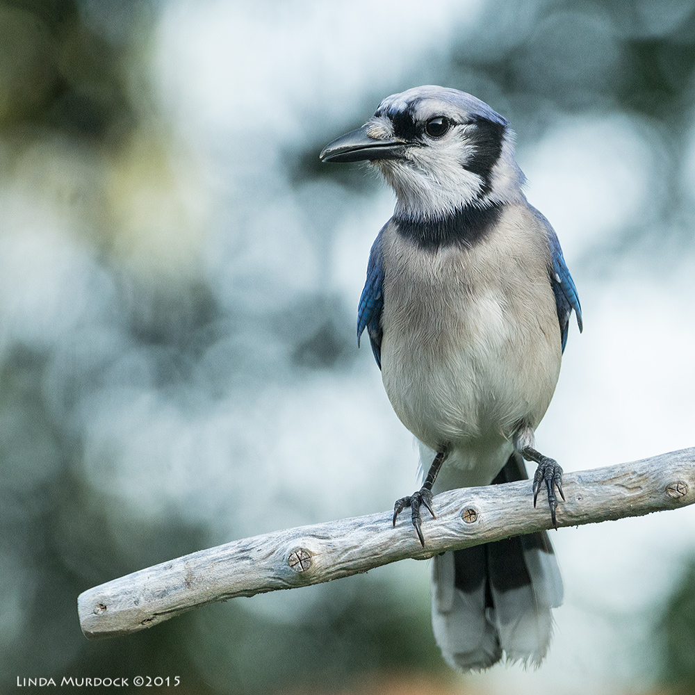 Blue Jay finally sitting still while we had a tiny cloud over the sun Sony A77II with Sony 70-400 G2 f/5.6  1/250 sec ISO 1250