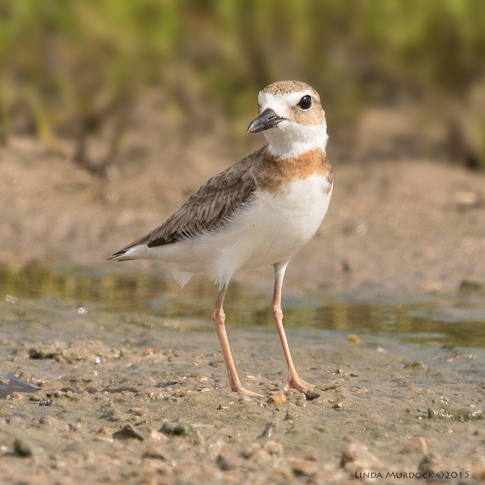 Young Wilson's Plover non-breeding with reddish brown small collar    Sony A77II with Sony 70-400 G2 f/7.1  1/2000 sec ISO 640