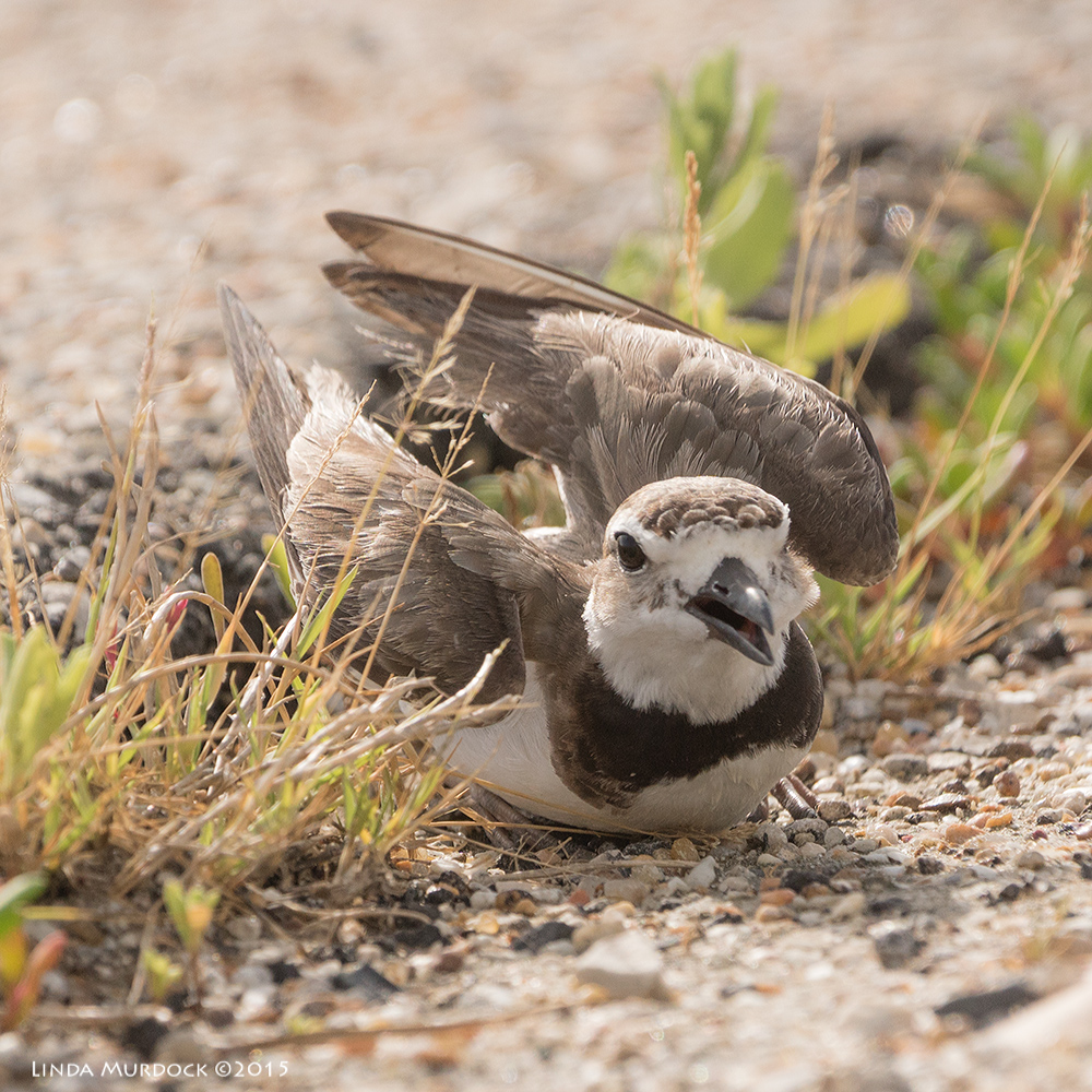 Wilson's Plover in full distraction display    Sony A77II with Sony 70-400 G2 f/5.6  1/1600 sec ISO 400