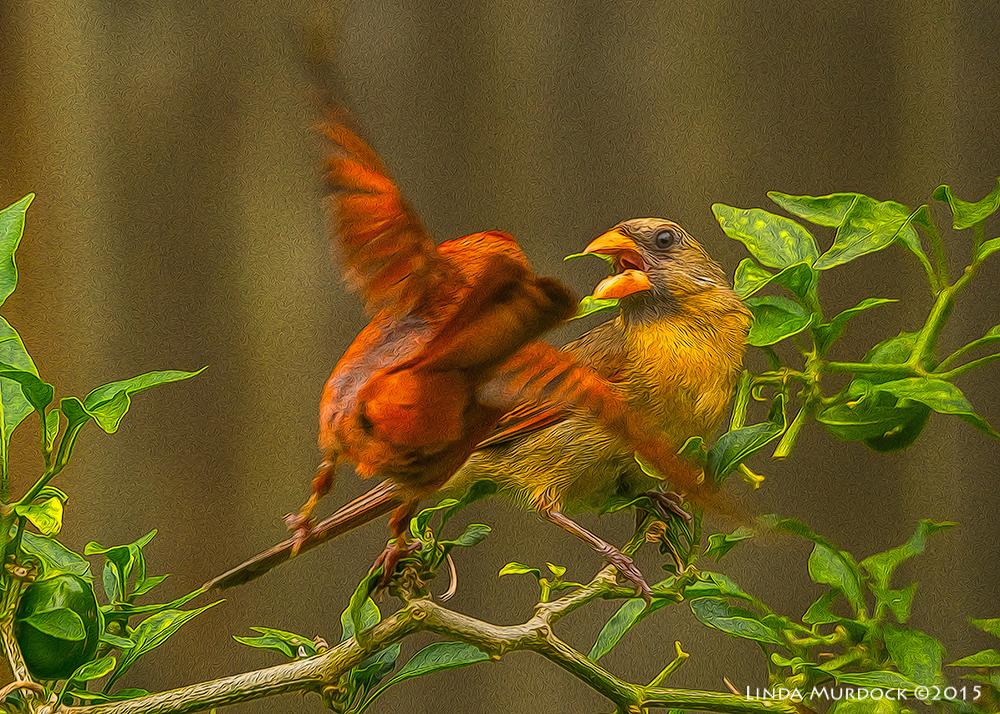 Male feeding female Cardinal