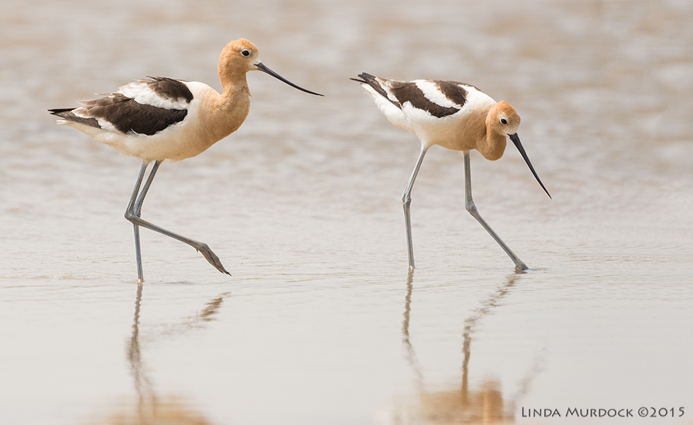 American Avocets on parade    Sony A77II with Sony 70-400 G2 f/6.3  1/2000 sec ISO 500