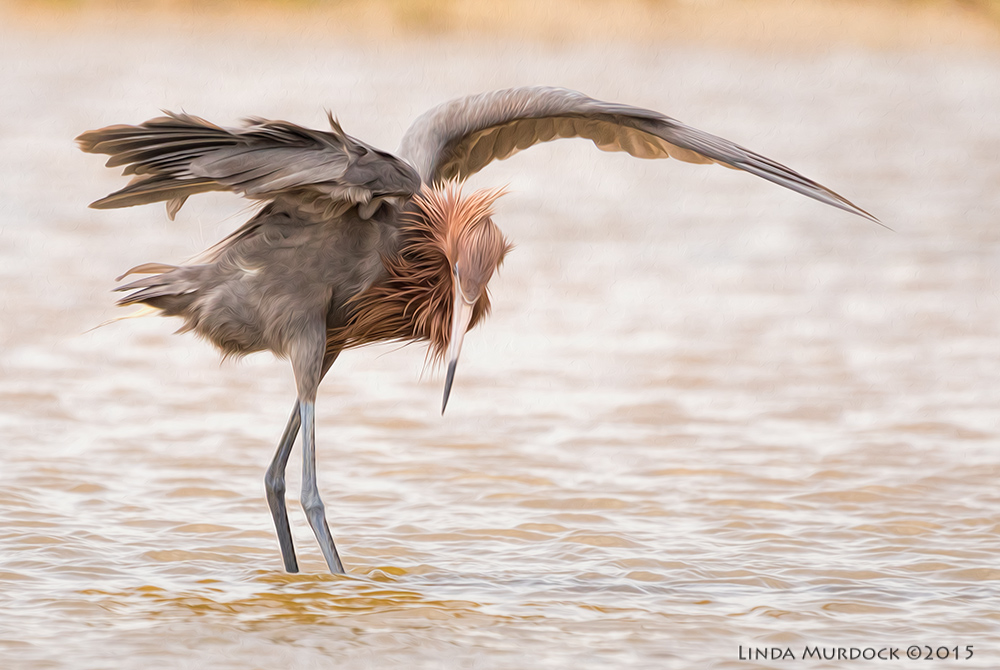 Reddish Egret shadowing to find fish - post processed with Fractalius and Photoshop Oil Paint    Sony A77II with Sony 70-400 G2 f/5.6  1/2000 sec ISO 800