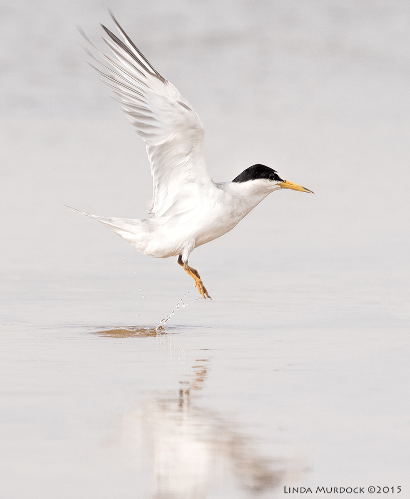 Least Tern in breeding colors; full black cap     Sony A77II with Sony 70-400 G2 f/6.3  1/1600 sec ISO 640