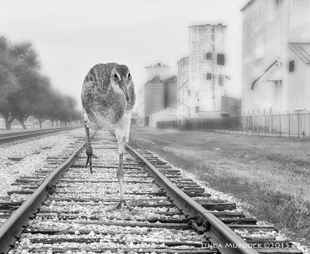 Clapper Rail on the rails...