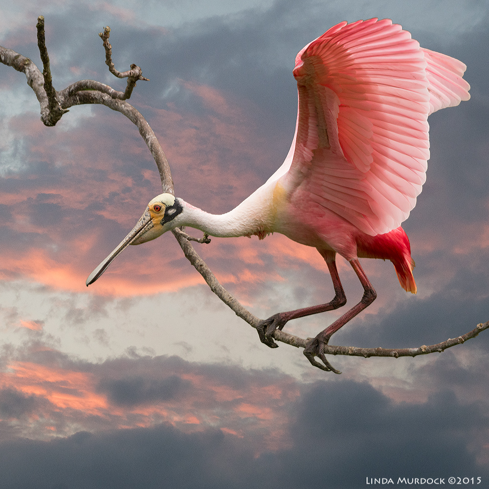 Roseate Spoonbill of my dreams...