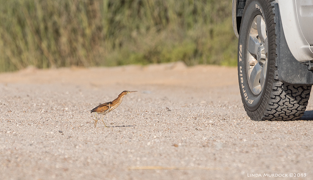 Least Bittern with truck for scale    Sony A77II with Sony 70-400 G2  f/6.31/2000 sec ISO 640