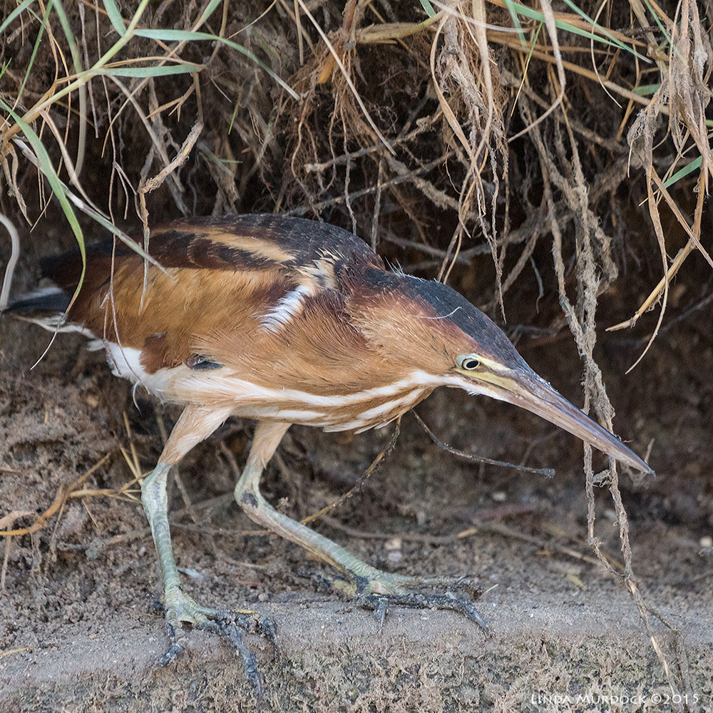 Least Bittern intent on finding something to eat Sony A77II with Sony 70-400 G2  f/5.6 1/400 sec ISO 2000