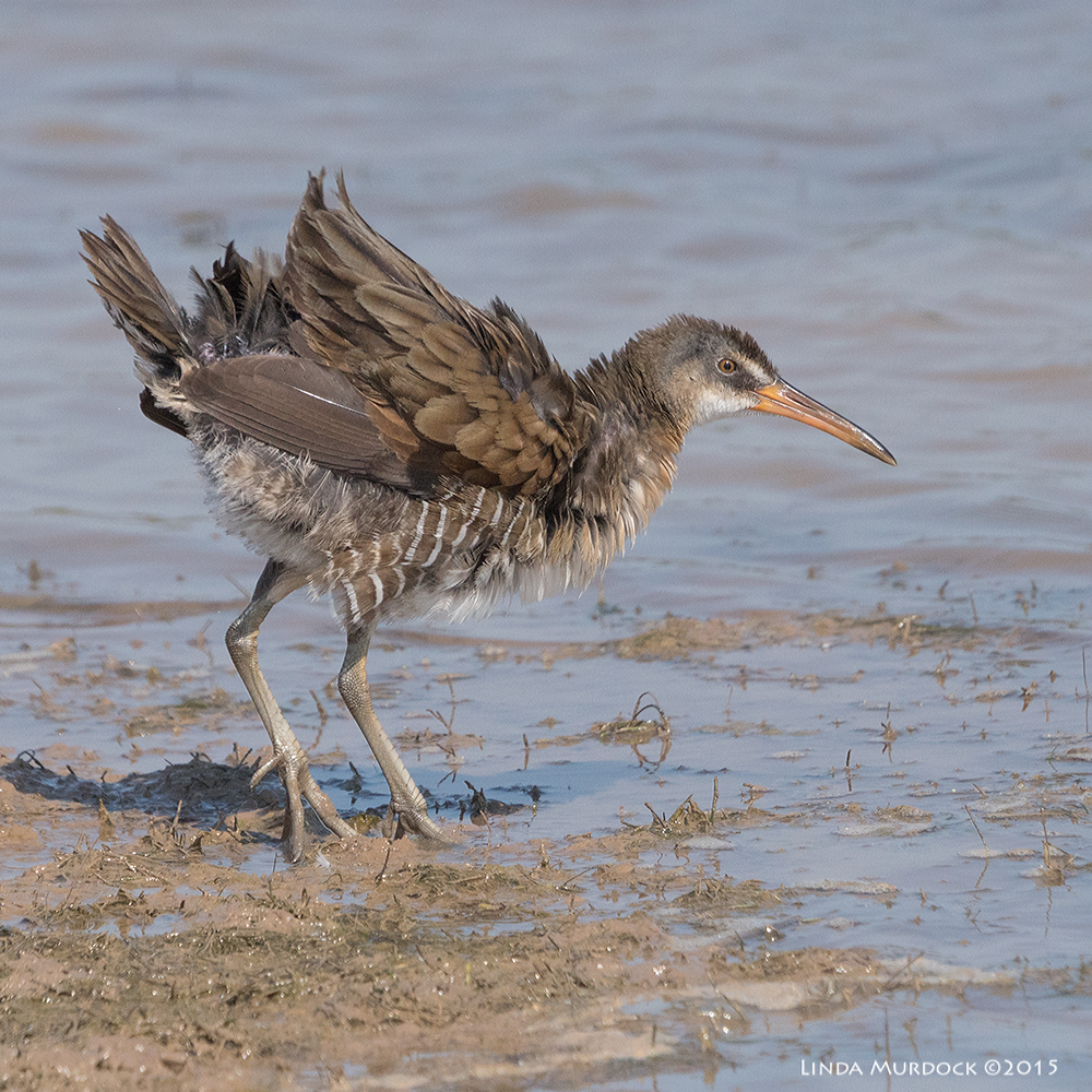 Clapper Rail in major fluff-up Sony A77II with Sony 70-400 G2  f/8.0  1/2500 sec ISO 1000