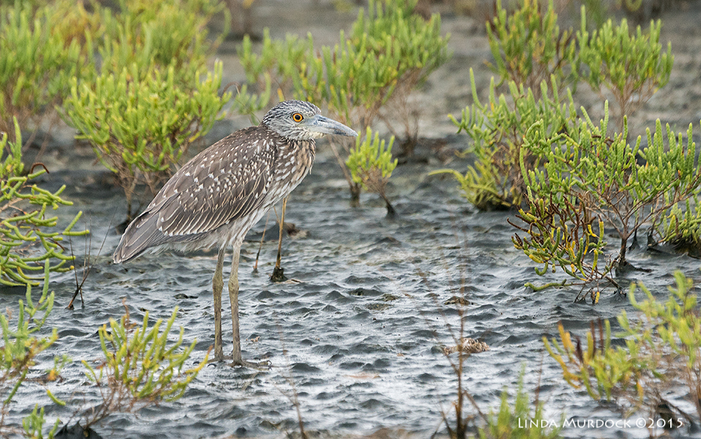 A young Yellow-crowned Night Heron huddled in the rain.    Sony A77II with Sony 70-400 G2  f/5.6  1/800 sec ISO 1000