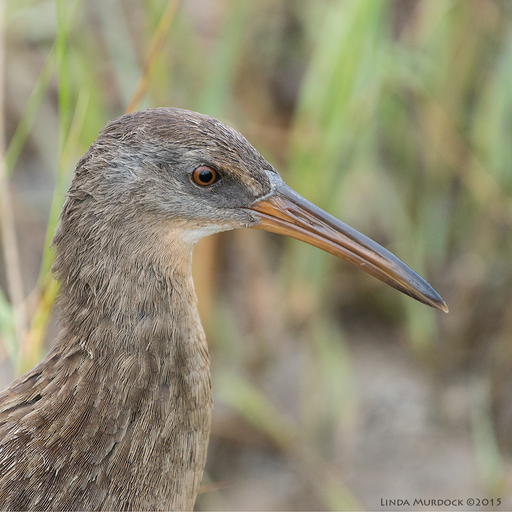 Clapper Rail portrait    Sony A77II with Sony 70-400 G2  f/5.6  1/1250 sec ISO 1250