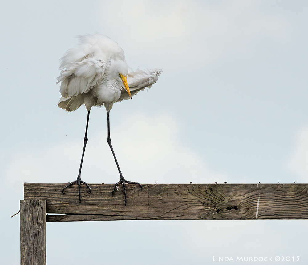 Great Egret in major fluff-up    Sony A77II with Sony 70-400 G2  f/7.1  1/2000 sec ISO 800