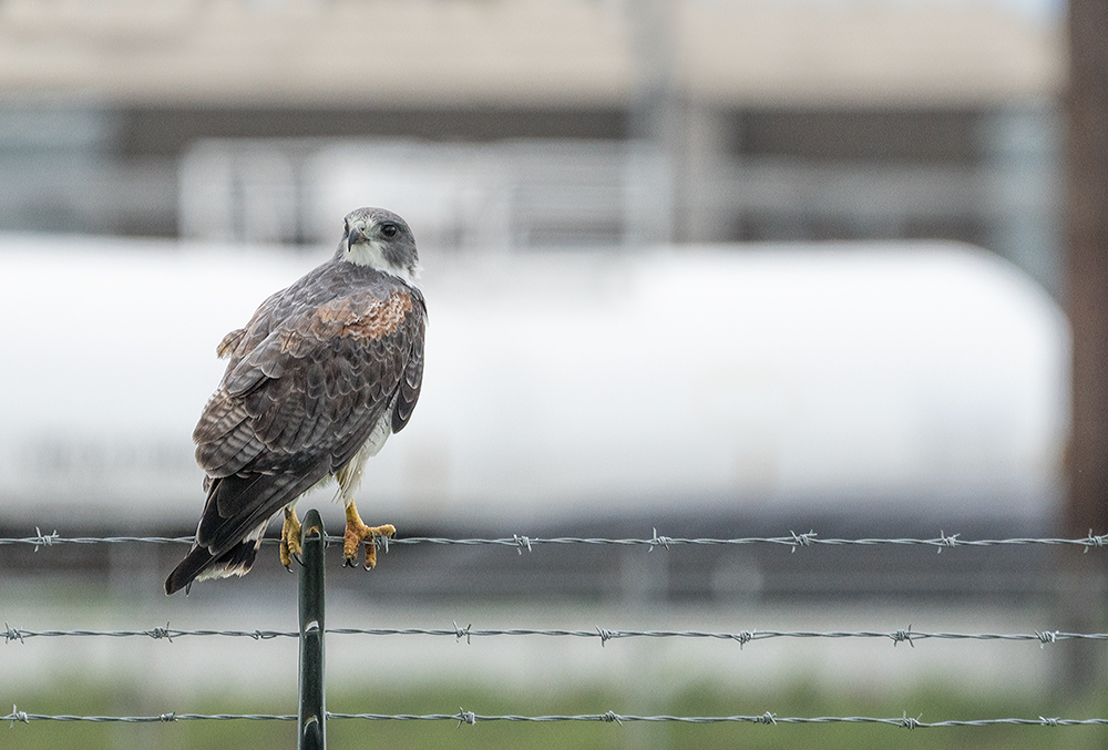 White-tailed Hawk near a refinery    Sony A77II with Sony 70-400 G2  f/6.31/1250 sec ISO 800