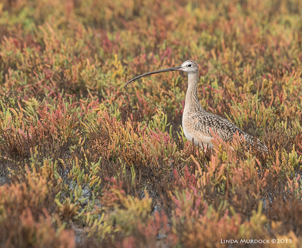 Long-billed Curlew in the glasswort    Sony A77II with Sony 70-400 G2    f/7.1 1/1250 sec ISO 800