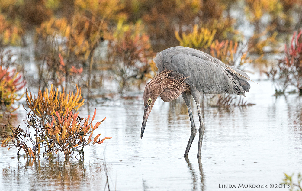 Reddish Egret    Sony A77II with Sony 70-400 G2    f/6.3  1/1000 sec ISO 1250
