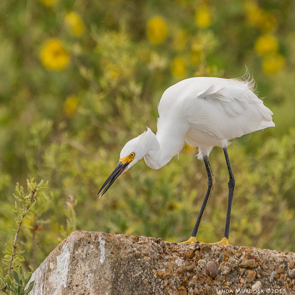 Snowy Egret    Sony A77II with Sony 70-400 G2    f/5.6 1/1600 sec ISO 1000