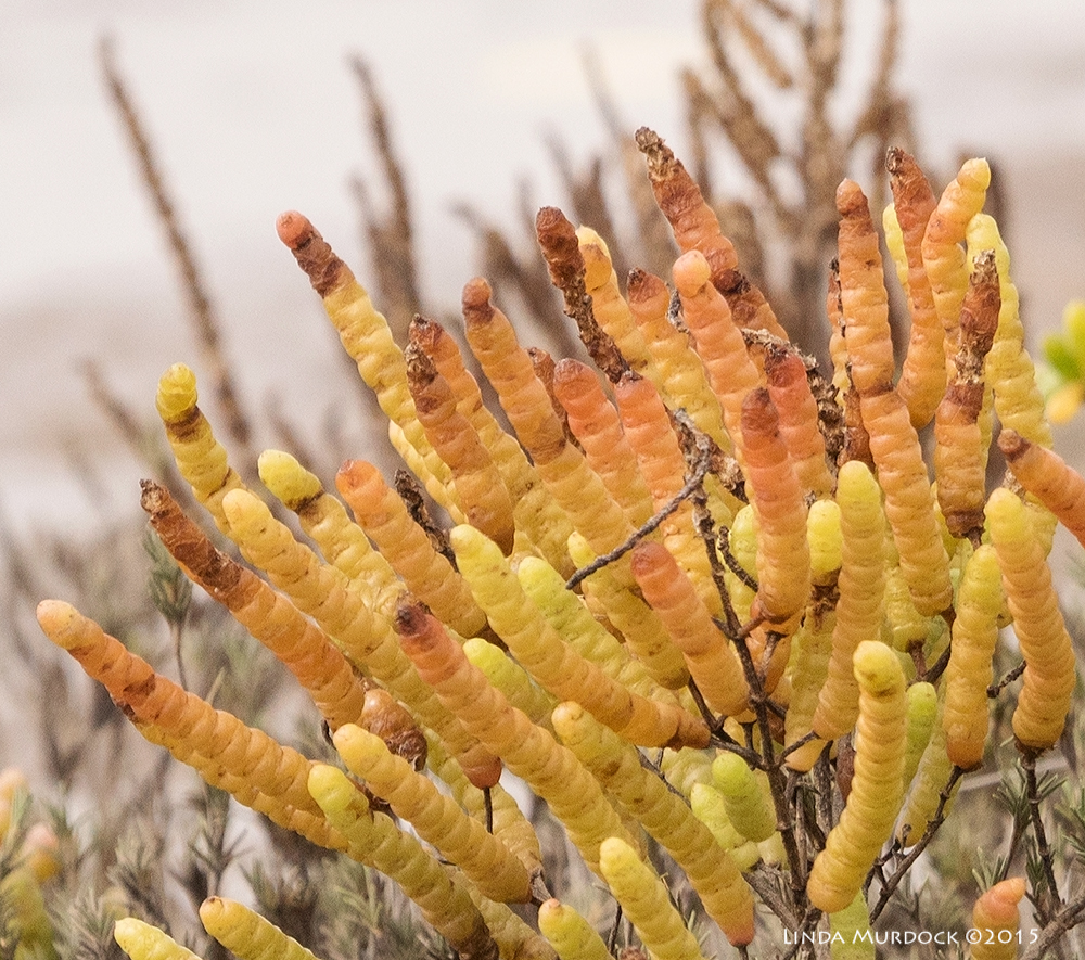 Salicornia or glasswort at close inspection