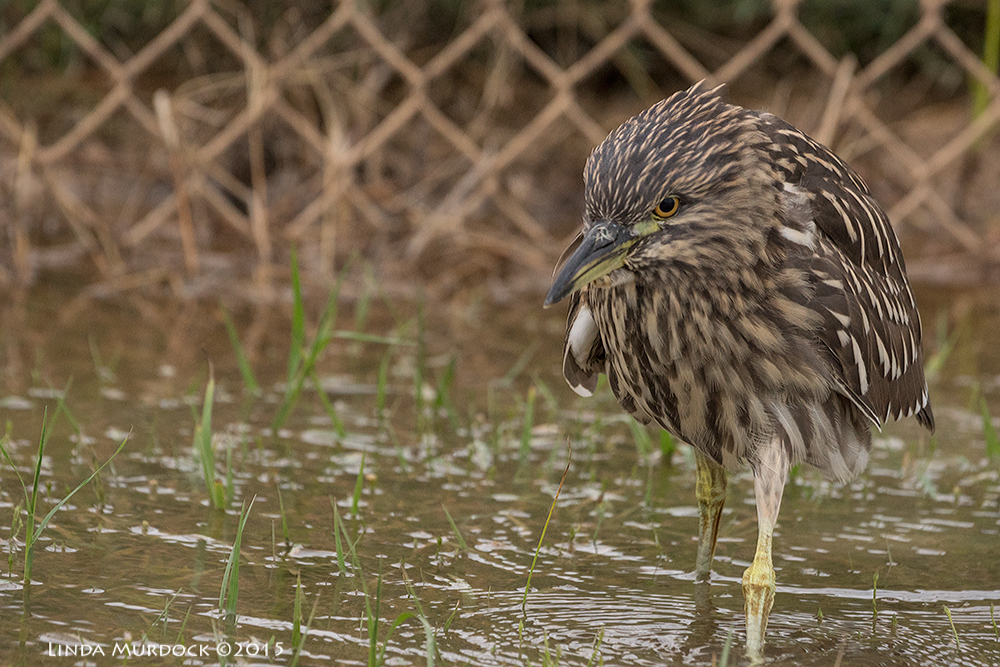 Black-crowned Night Heron coming my way Sony A77II with Sony 70-400 G2  f/6.3  1/500 sec ISO 1600