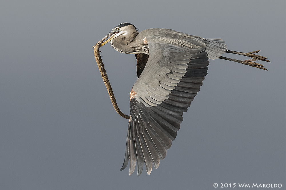 Great Blue Heron thief...  Photo by William Maroldo