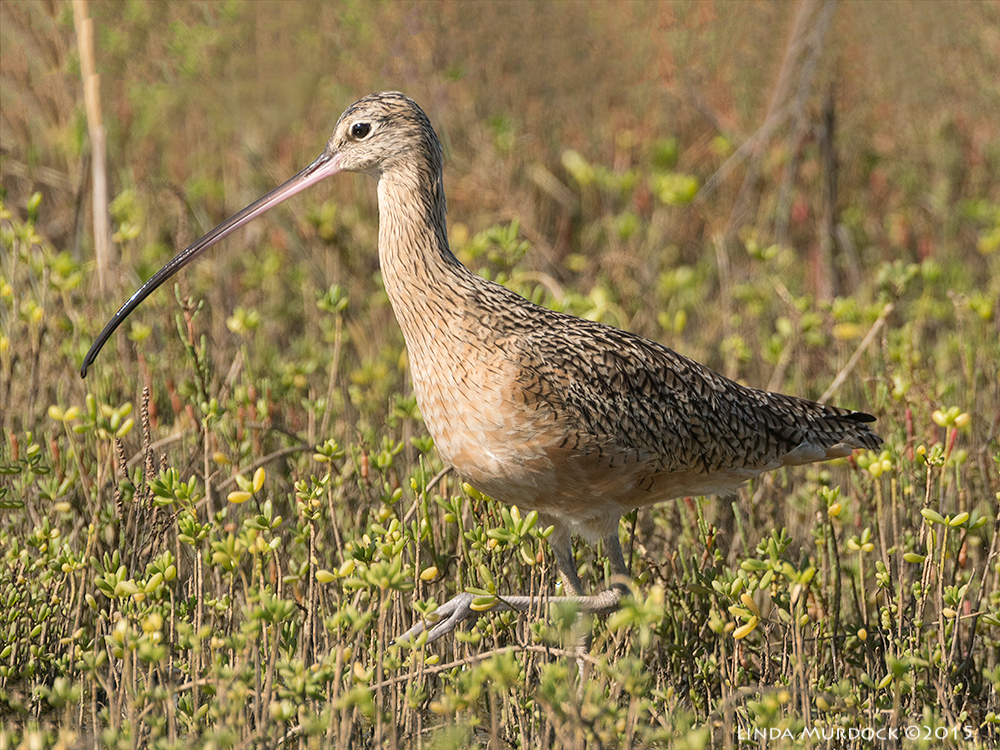 Female Long-billed Curlew high-stepping next to a big puddle    Sony A77II with Sony 500 f/4.0 G  f/7.1   1/1600 ISO 800