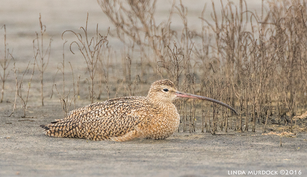 Long-billed Curlew resting Sony A77II with Sony 500 f/4.0 G; f/6.3 1/1000 sec ISO 1000
