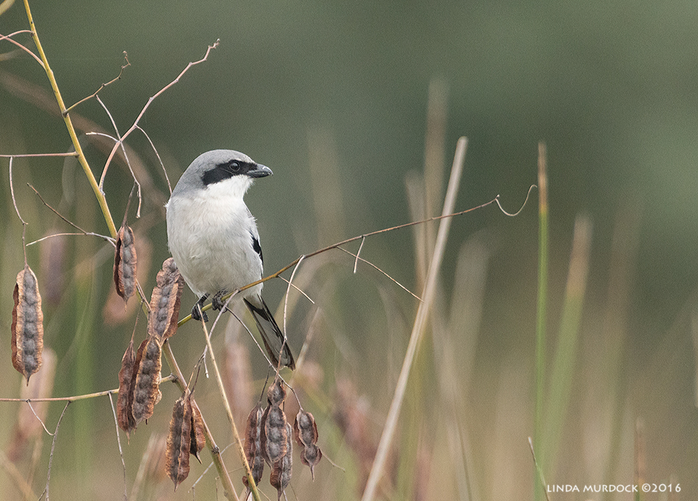 Northern Shrike not on a wire Sony A77II with Sony 500 f/4.0 G; f/6.3 1/1250 sec ISO 1250