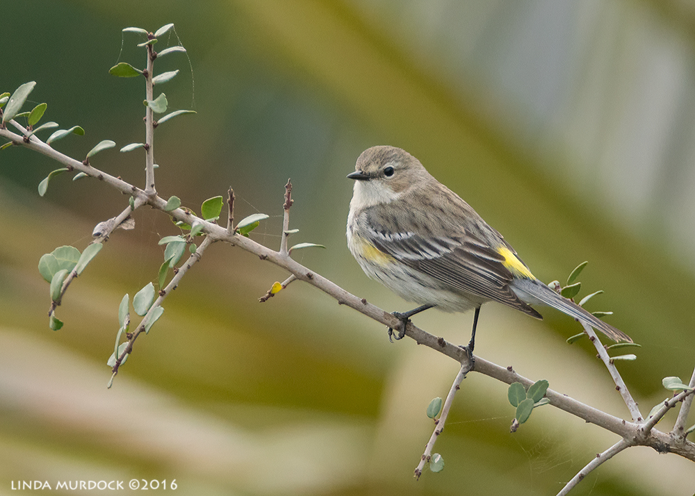 Yellow-rumped Warbler AKA Butter-butt Sony A77II with Sony f/4 500 G f/5.61/640 sec ISO 1250; tripod from the boardwalk