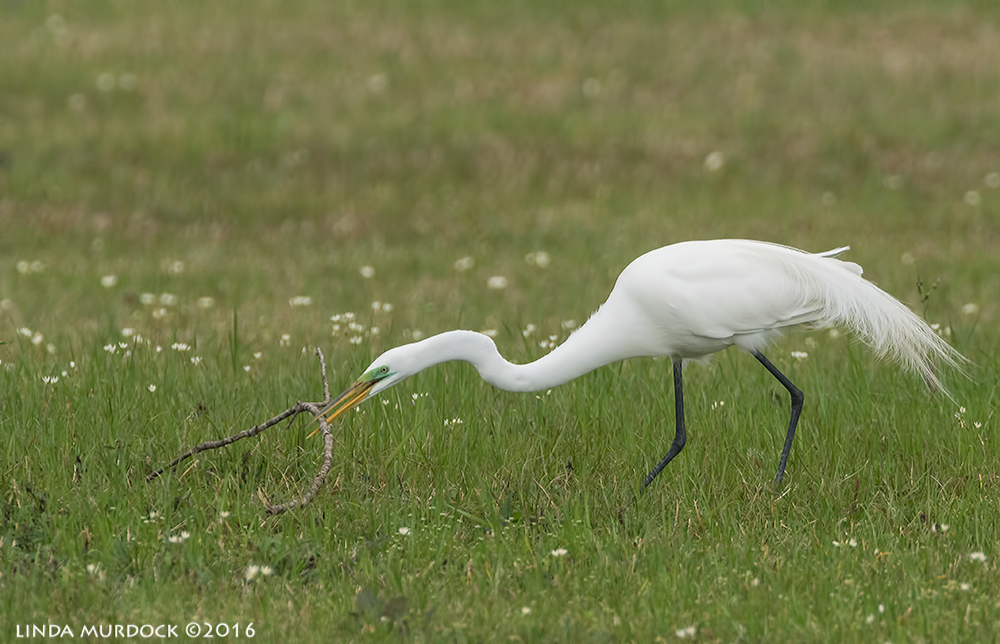 Male Great Egret at Resoft Park choosing a stick Sony A77II with Sony f/4 500 G ~ f/6.31/2000 sec ISO 800; tripod