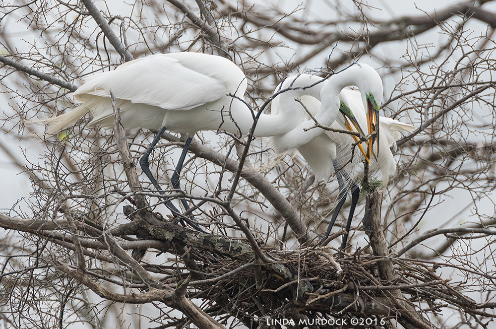 Intertwined Great Egrets building a nest at Resoft Park Sony A77II with Sony f/4 500 G ~ f/6.31/2000 sec ISO 1000; tripod