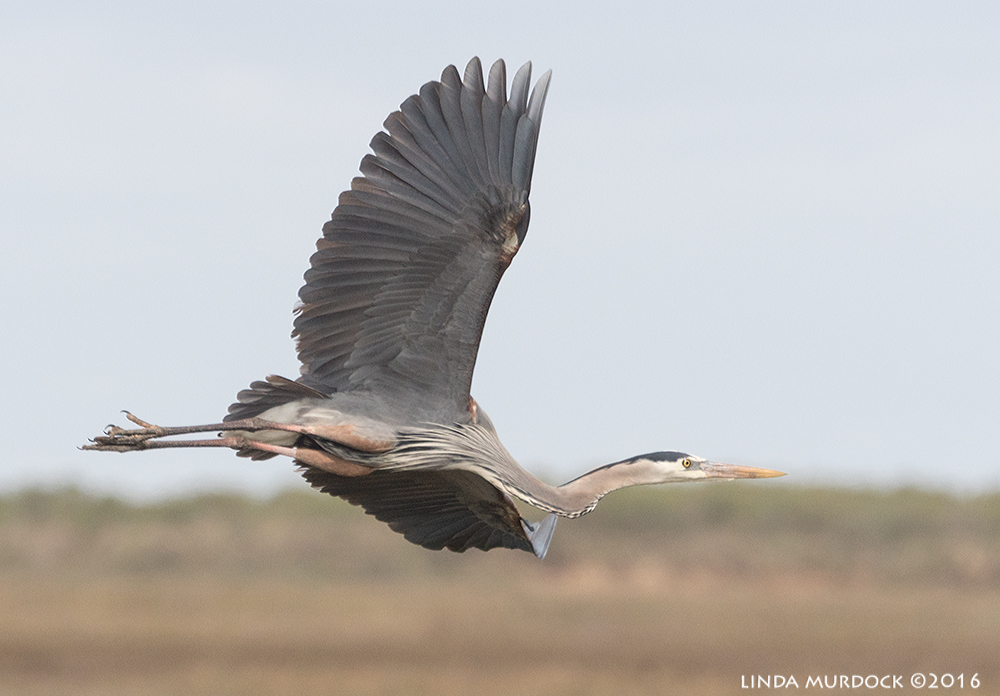 Great Blue Heron flying by Sony A77II with Sony 70-400 G2 ~ f/6.31/2000 sec ISO 800; hand-held