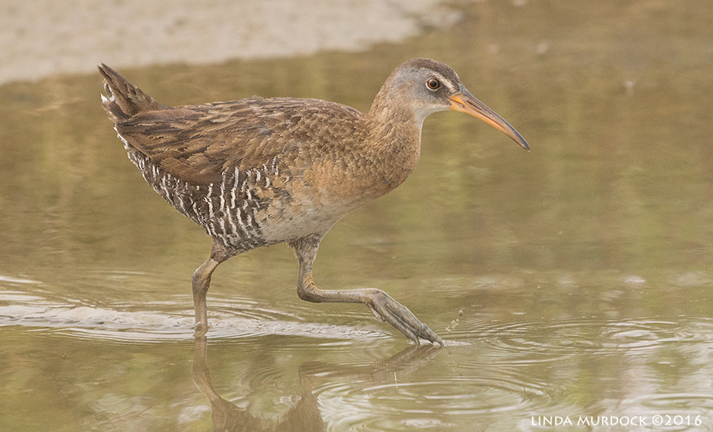 Clapper Rail on Sportsman Road Sony A77II with Sony 70-400 G2 ~ f/6.3 1/1250 sec ISO 1000; hand-held