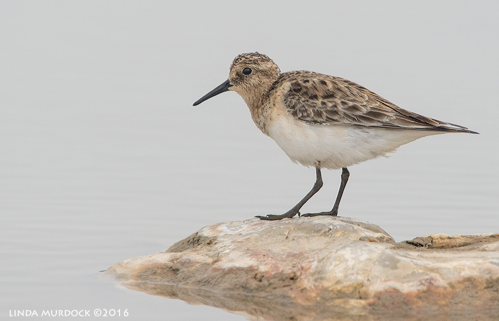 Baird's Sandpiper Sony A77II with Sony f/4 500 G ~ f/6.3 1/1600 sec ISO 800; braced in window