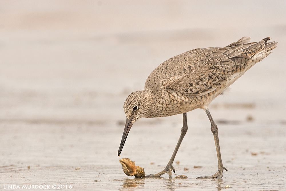 Willet and hermit crab at Texas City Dike Sony A77II with Sony f/4 500 G ~ f/8.01/2000 sec ISO 800; tripod