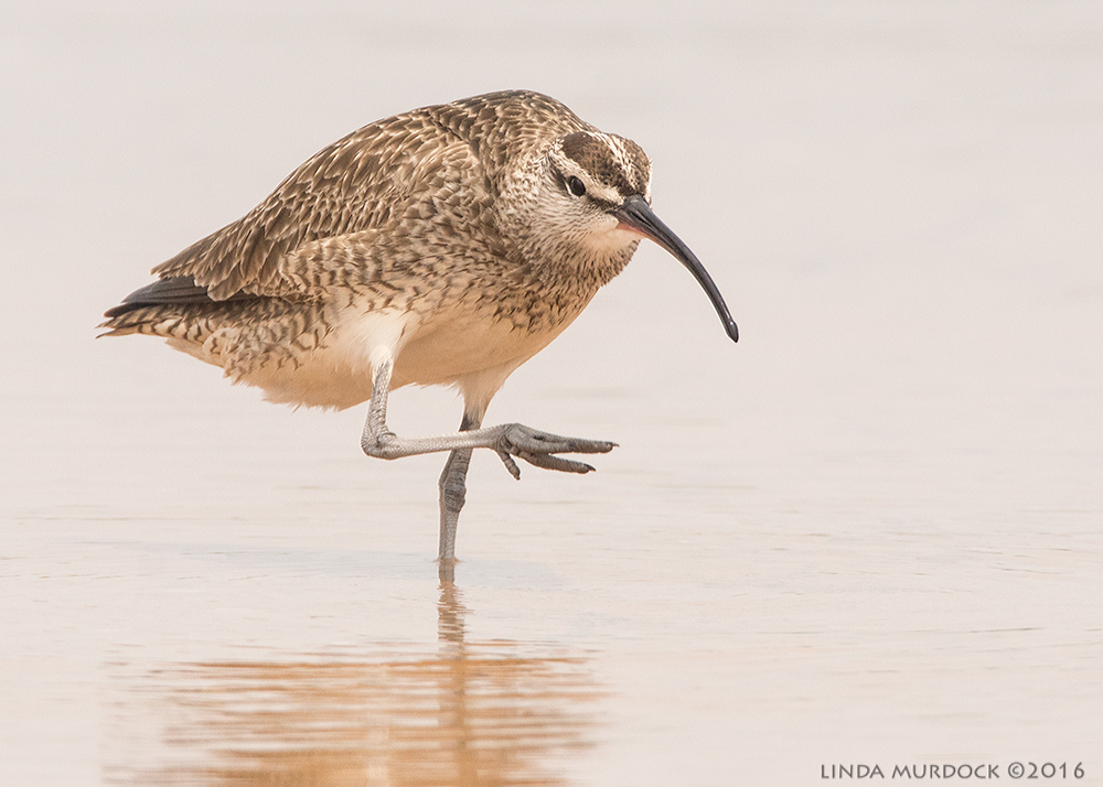Whimbrel strikes an pose Sony A77II with Sony f/4 500 G ~ f/8.0 1/2000 sec ISO 1000; braced on truck