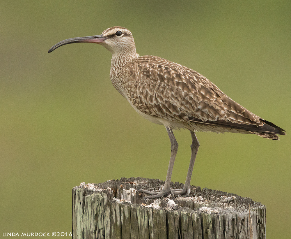 Whimbrel glancing up Sony A77II with Sony f/4 500 G ~ f/6.31/2000 sec ISO 1000; braced on truck