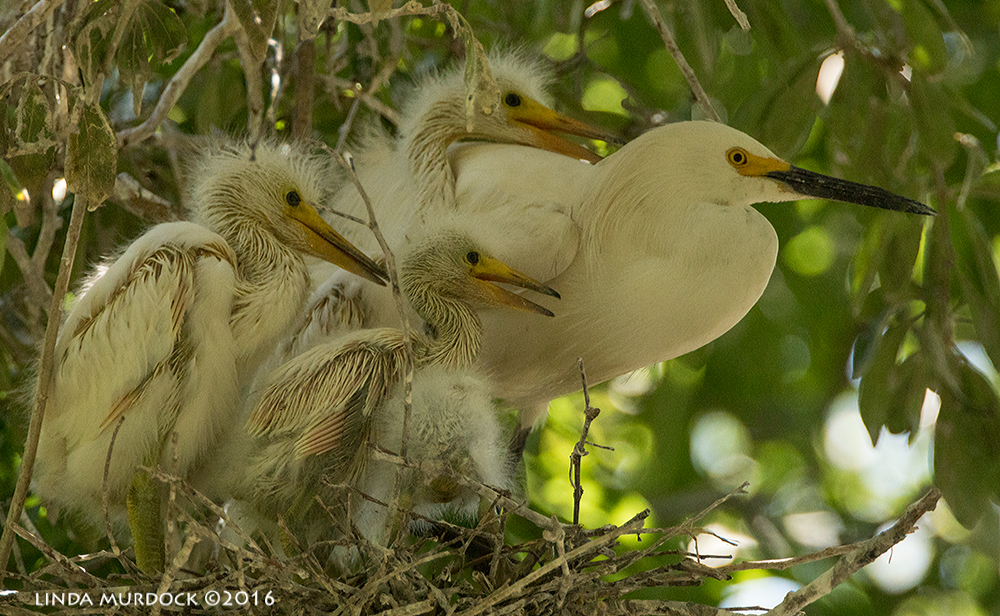 Snowy Egrets and chicks at UTSWMC rookery Sony A77II with Sony f/4 500 G f/5.6 1/1000 sec ISO 2000; tripod
