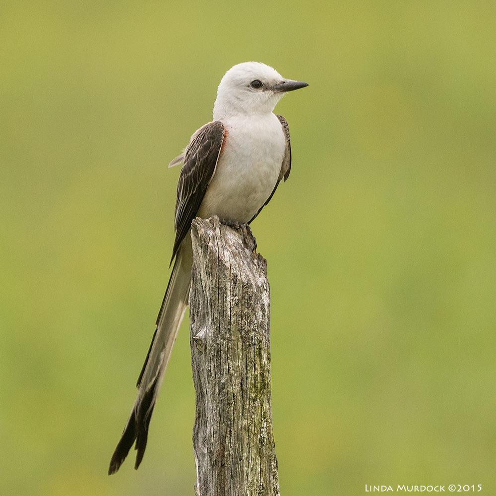 Scissor-tailed Flycatcher from 2015. Taken with Sony A77II and 70-400 G2 lens