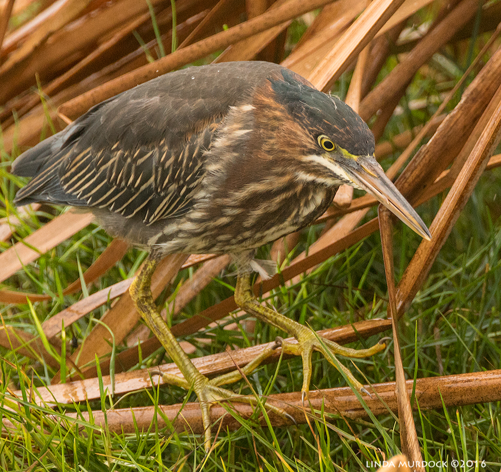 Young Green Heron Sony A77II with Sony f/4 500 G +1.4x TC; 1/1000 sec   f/6.3 ISO 1250; tripod