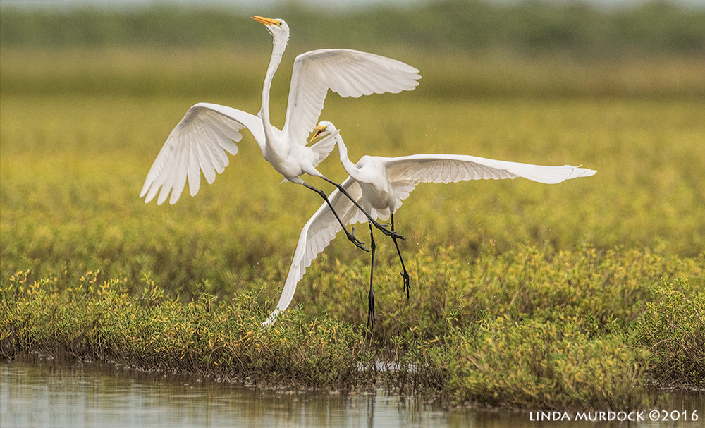 Great Egret chasing another out of his space Sony A77II with Sony f/4 500 G + 1.4x TC; 1/2000 sec f/7.1 ISO 1250; tripod