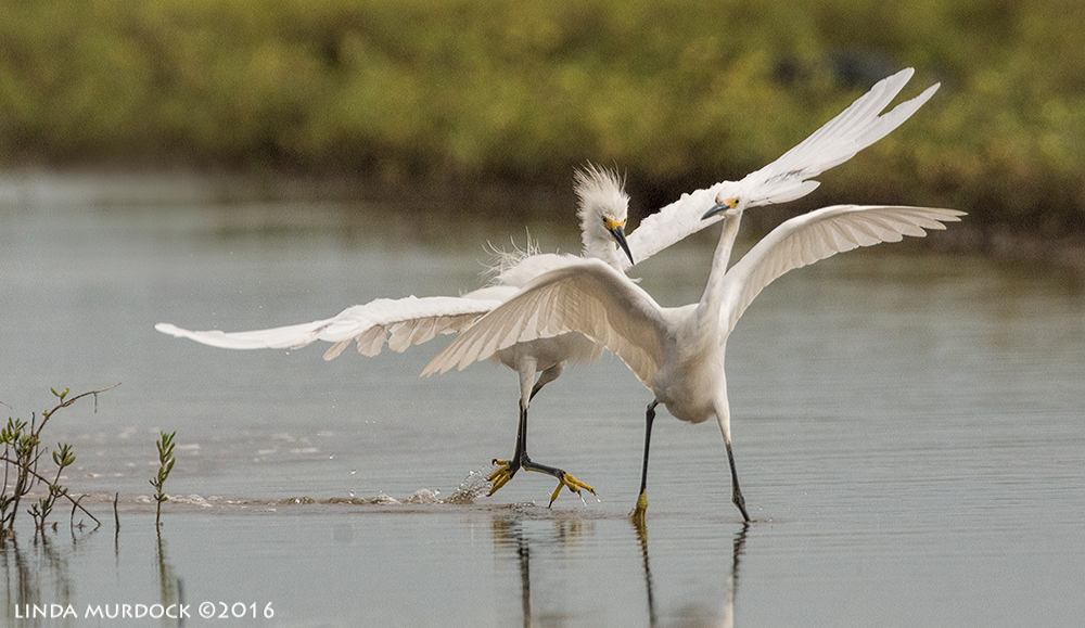 Snowy Egret getting all agro  Sony A77II with Sony f/4 500 G + 1.4x TC; 1/1600 sec f/8.0 ISO 1250; tripod