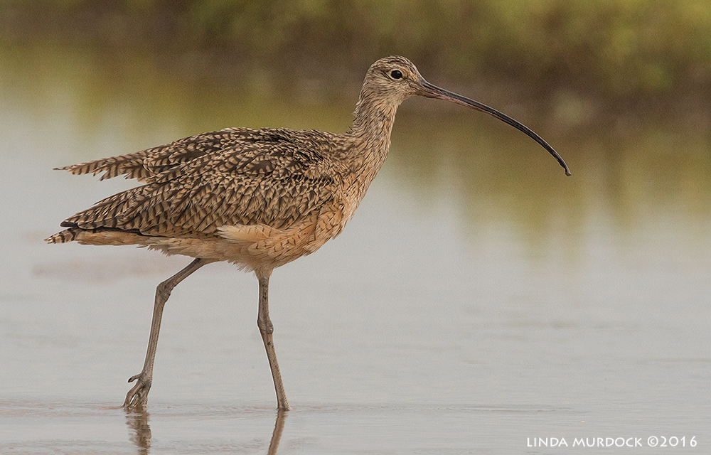 Male Long-billed Curlews have shorter bills than the females Sony A77II with Sony f/4 500 G + 1.4x TC; 1/1250 sec f/8.0 ISO 1250; tripod