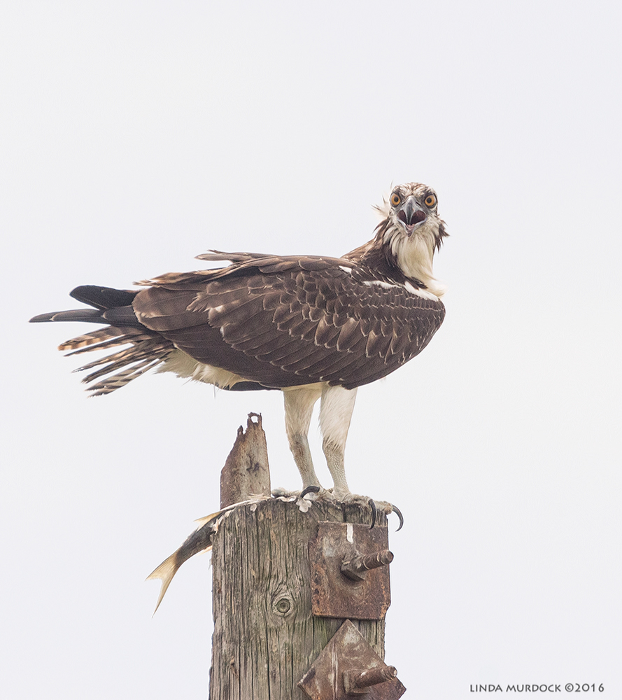 Osprey near Surfside Beach with fish