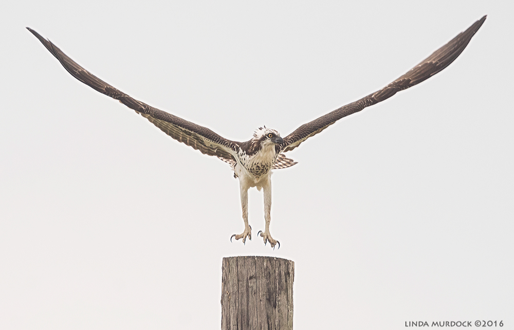 Ospreys have a wing-spread of 59.1–70.9 in or 150–180 cm