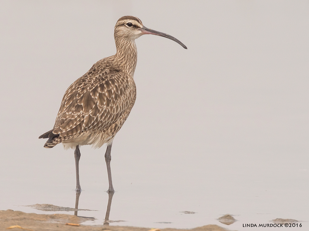 Whimbrels have a much shorter bill than the Curlews Sony A77II with Sony f/4 500 G + 1.4X TC; 1/1600 sec f/7.1 ISO 640; tripod