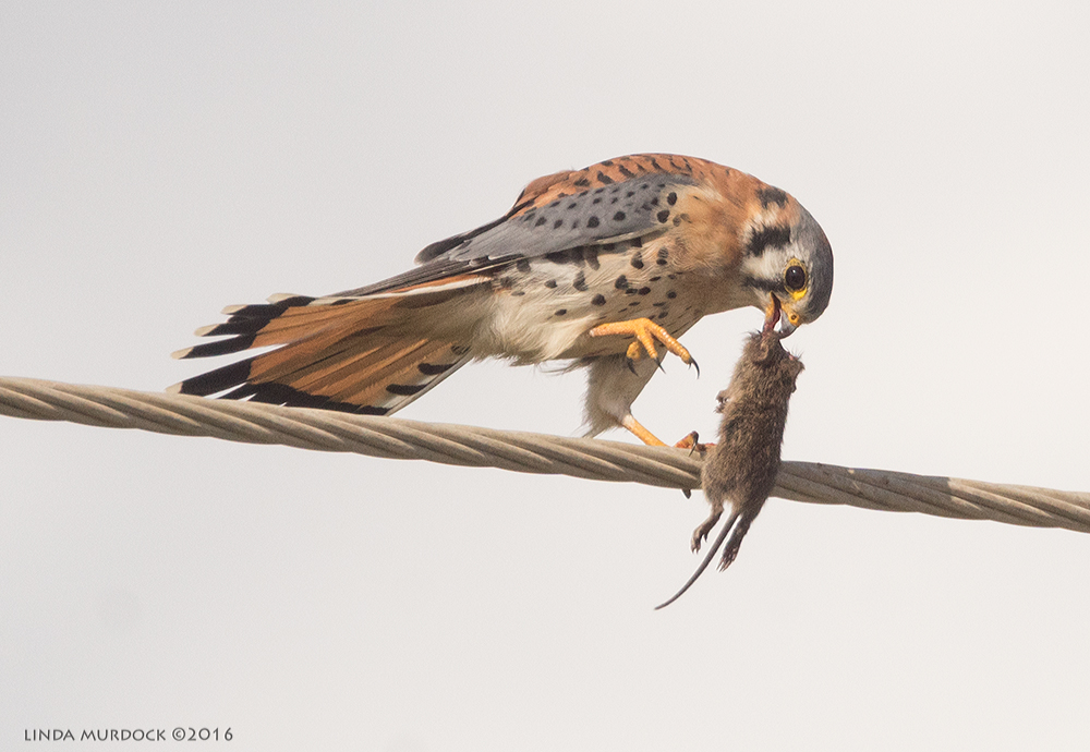 Male Kestrel with mouse Sony A77II with Sony f/4 500 G + 1.4x TC;  1/2000 sec f/8.0 ISO 640; braced on truck