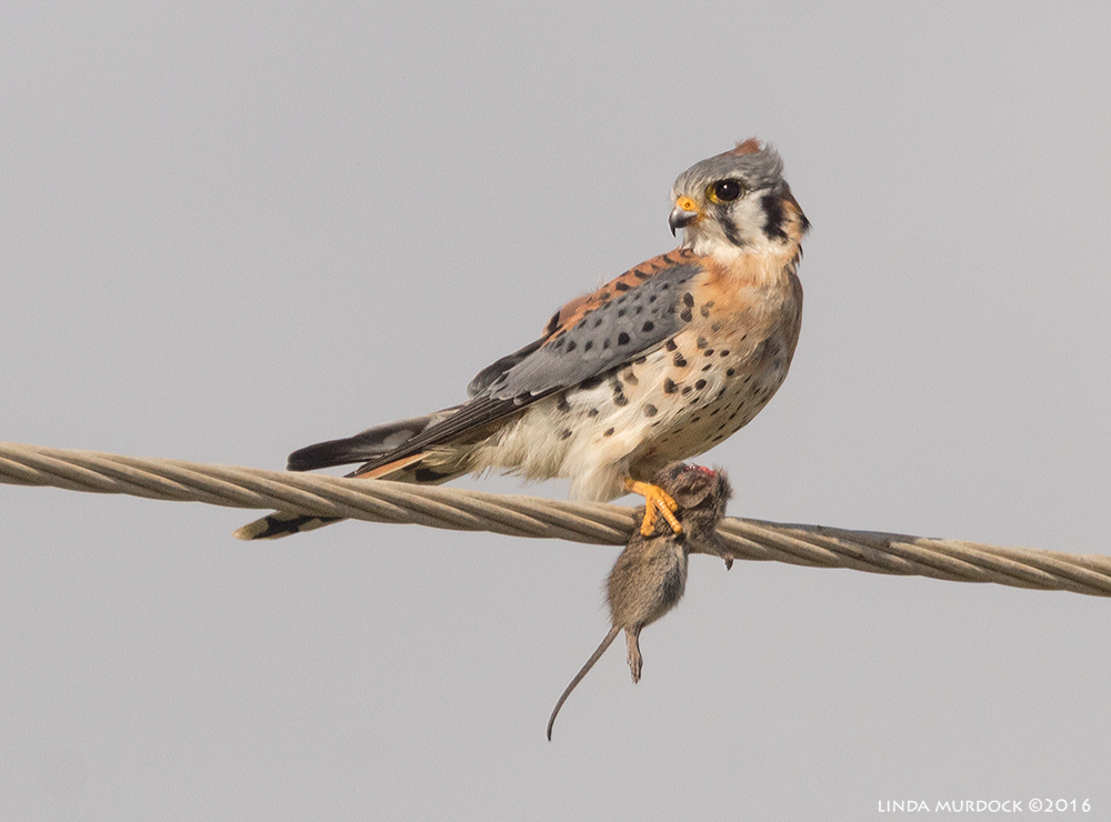 Kestrel with mouse Sony A77II with Sony f/4 500 G + 1.4x TC;   1/2000 sec f/8.0 ISO 640; braced on truck